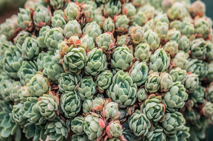 articoka biljka