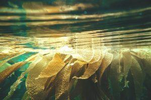 Zašto je dobro jesti morske alge